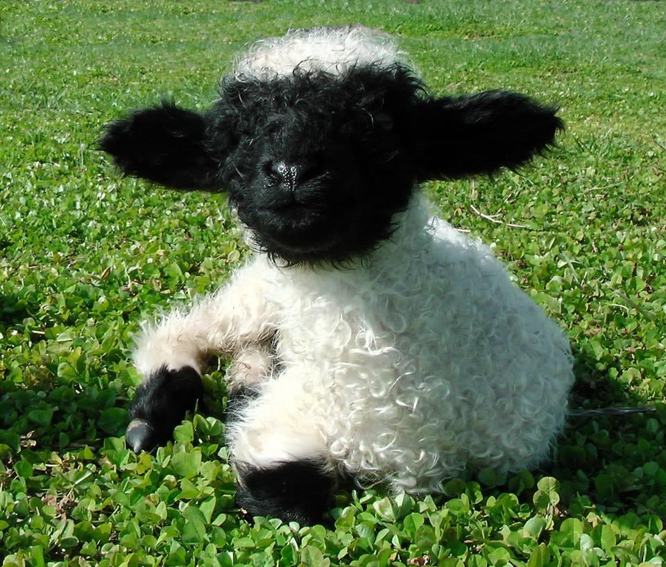 Adalék a juhok természetrajzához