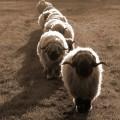 juhocskák