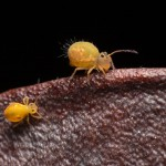 Gömböcugrókák lepényfa termésen