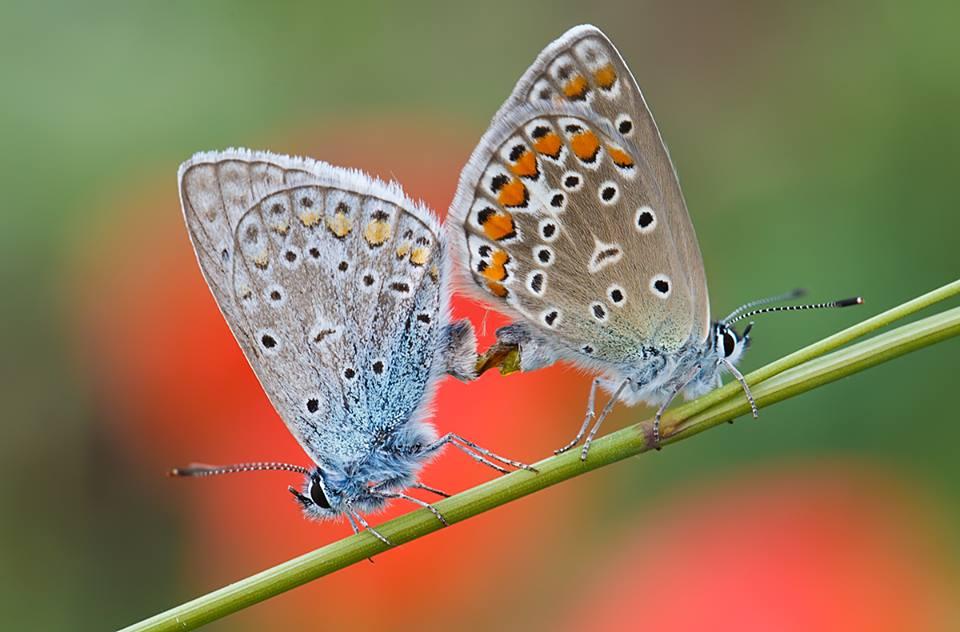 Polyommatus icarus – Közönséges boglárkák