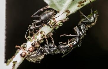 A hangyák titokzatos csókja